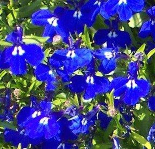 Lobelia Techno Heat Blue Goode Greenhouses