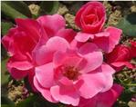 Rosa 'Radcon' PP15070, CPBR2044 / Knock Out® Pink Rose