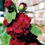 Alcea Chater's Double Red