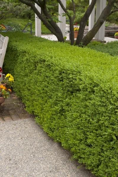 Boxwood Wintergreen Goode Greenhouses