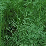 Fennel Green