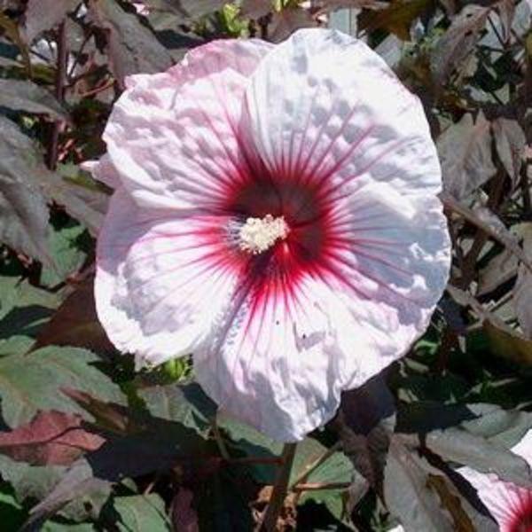 hibiscus kopper king goode greenhouses. Black Bedroom Furniture Sets. Home Design Ideas