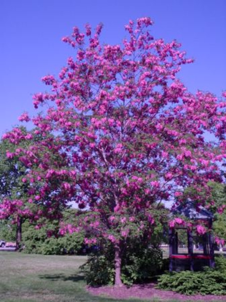Purple robe locust goode greenhouses robinia pseud this beautiful globe locust has dark rose pink flowers mightylinksfo