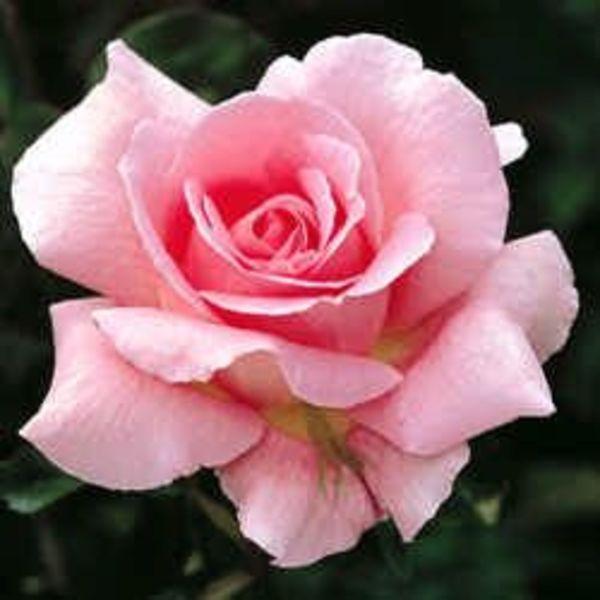 rose grandiflora queen elizabeth goode greenhouses. Black Bedroom Furniture Sets. Home Design Ideas